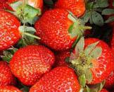 草莓采摘动态 草莓主题公园落户昌平