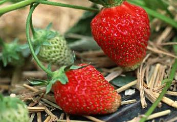 北京周边草莓采摘攻略