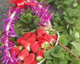 昌平草莓采摘推荐 新城绿都农业采摘园