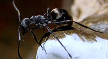 蚂蚁,蚂蚁