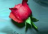 媚眼看车论坛斑竹 静静绽放的玫瑰