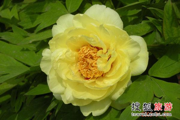 西藏林芝扎贡沟:欣赏珍稀的野生黄牡丹