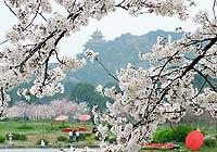 武汉大学:扑天盖地的樱花雨