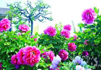 四川彭州:花瓣柔柔层层爱