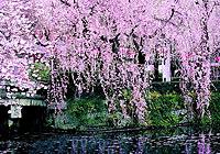 湖南常德:桃花源处觅粉红