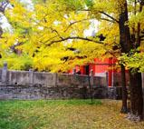大觉寺银杏树