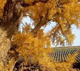 大觉寺一片金黄