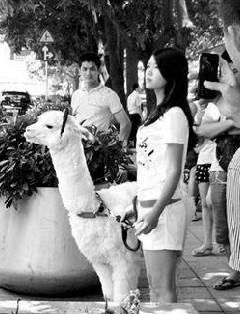 """带宠物上街很常见,遛狗遛鸟神马的都是浮云,你见过有人遛""""草泥马""""吗?前日14时20分许,有网友晒微博,称一女子正牵着一头""""草泥马""""在深圳华强北商业区遛街,现场有不少市民围观拍照。"""