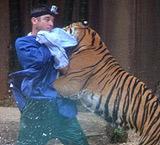 澳大利亚驯兽师遭老虎突袭