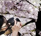 温哥华摩天大楼下樱花锦簇