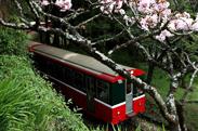 春日里的粉红花海 阿里山樱花季