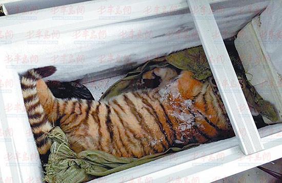 死亡的老虎被放在了冰柜内。