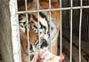 安徽一村养虎500余只 平均5人一只