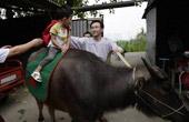 父亲迷国学让儿骑牛上学