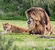 两头雄狮同性交配