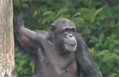 动物园猩猩越狱吓跑游客