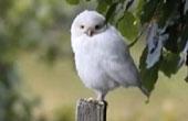 出白色猫头鹰如精灵