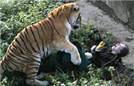 女饲养员喂老虎遭撕咬