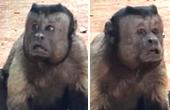 蠢萌猴子长张人脸笑翻网友