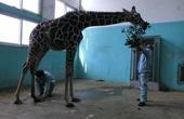 给长颈鹿修蹄子分几步
