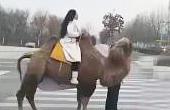 两女子为环保骑骆驼上班